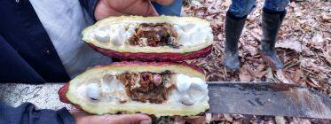 Productores de Huánuco exportaron 2 mil toneladas de cacao orgánico a Europa